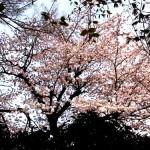 我が家の借景の桜